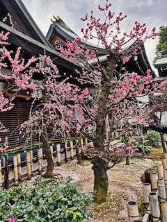 prunier en fleurs dans temple