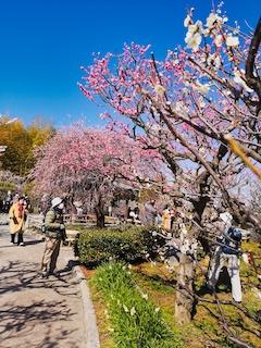 prunier en fleurs à Osaka
