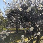 prunier en fleur blanc