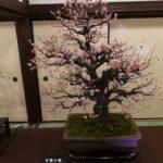 prunier bonsaï 1
