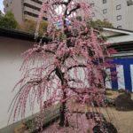 prunier rose
