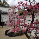 pruniers bonsaï grand